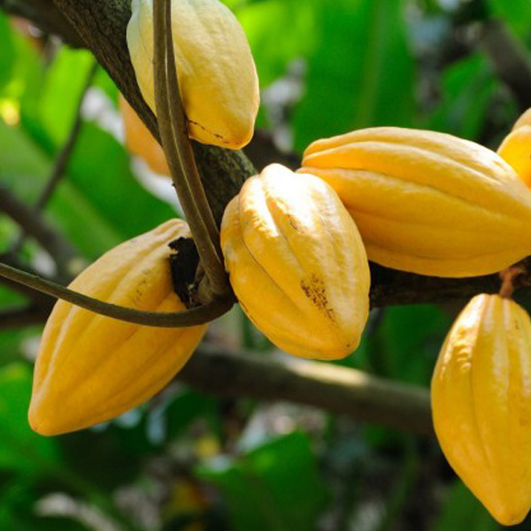 ECA | European Cocoa Association